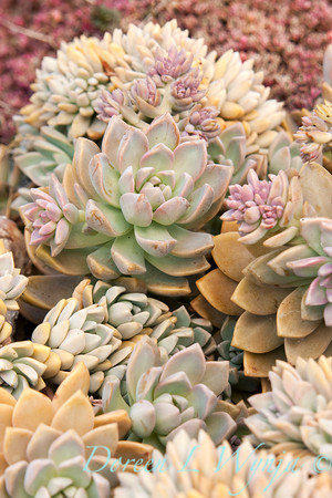 Echeveria prolifica_009