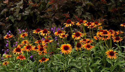 5444 Echinacea Flame Thrower_020