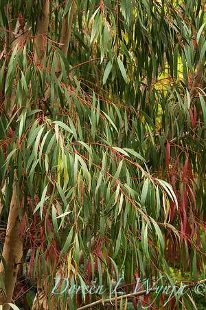 Eucalyptus nicholii_007