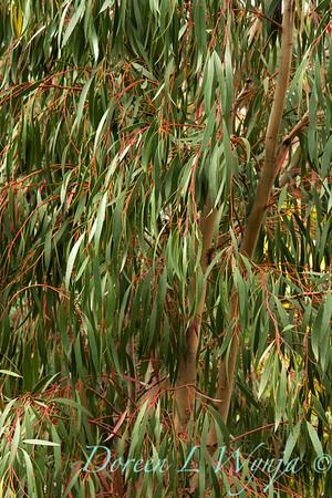 Eucalyptus nicholii_003