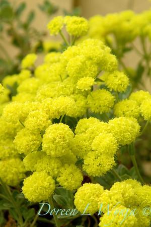 Eriogonum umbellatum polyanthum Shasta Sulphur_002