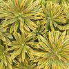 Euphorbia x martinii 'Ascot Rainbow'_2788