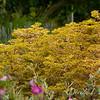 Euphorbia x martinii 'Ascot Rainbow'_8507