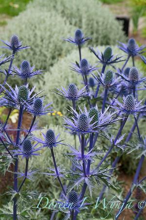 Eryngium x zabelii 'Big Blue'_2147