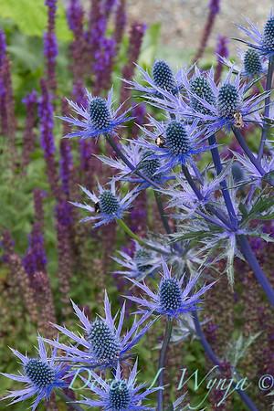 Eryngium x zabelii 'Big Blue'_2162