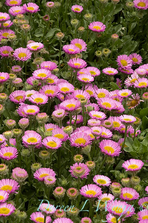 Erigeron glaucus Sea Breeze_021