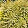 Euphorbia x martinii 'Ascot Rainbow'_2791