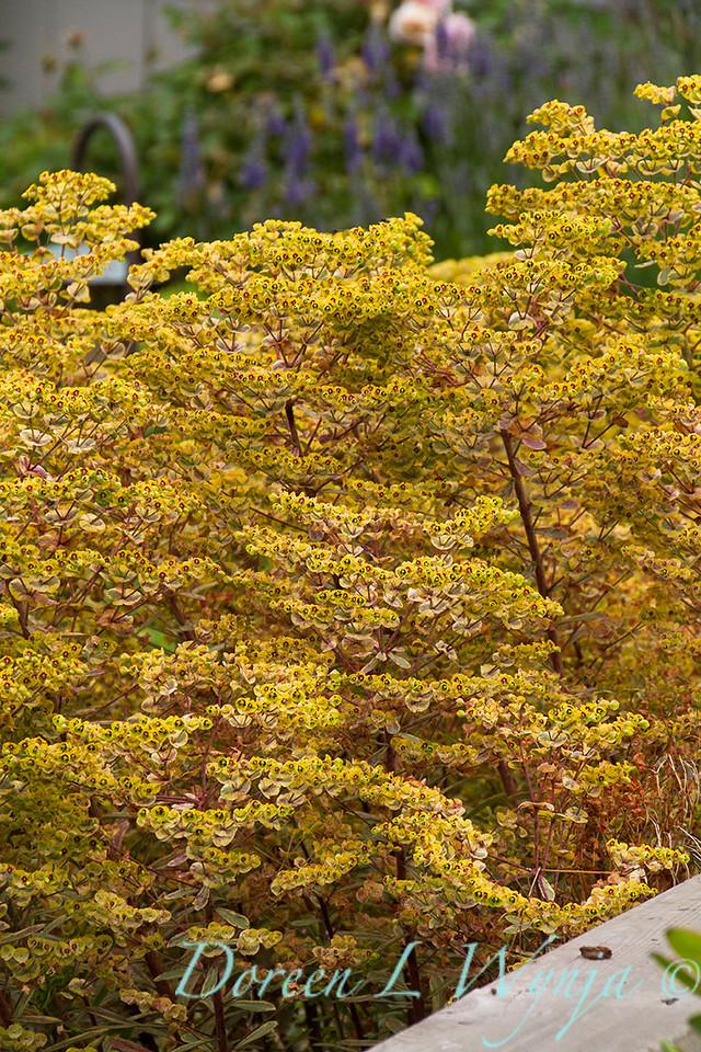 Euphorbia x martinii 'Ascot Rainbow'_8506
