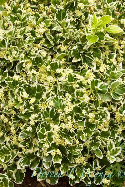 Euonymus fortunei Ivory Jade_005_Doreen Wynja