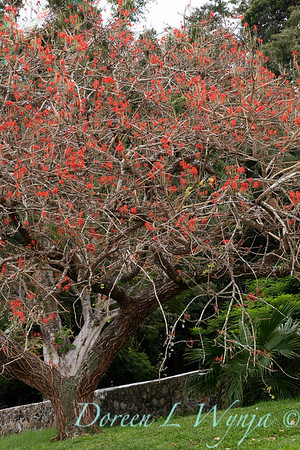 Erythrina abyssinica tree_2178