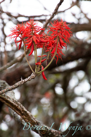 Erythrina abyssinica_2164