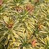 Euphorbia x martinii 'Ascot Rainbow'_2779