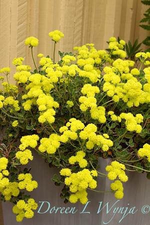 Eriogonum umbellatum polyanthum Shasta Sulphur_004