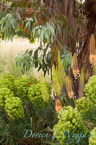 Euphorbia characias Bruces Dwarf_007