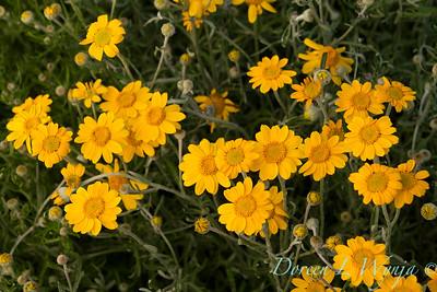 Eriophyllum lanatum_491