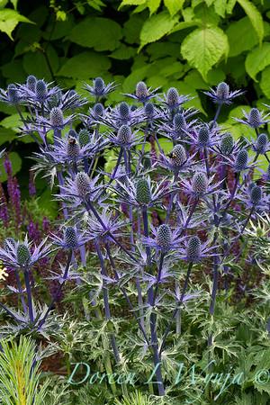 Eryngium x zabelii 'Big Blue'_2153