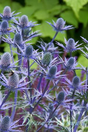 Eryngium x zabelii 'Big Blue'_2157