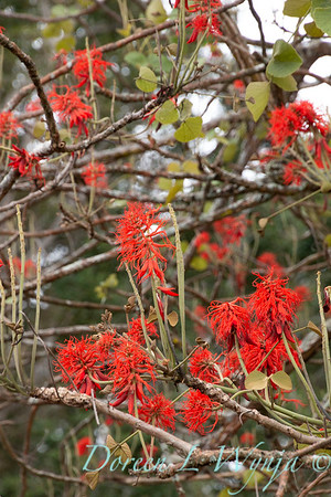 Erythrina abyssinica_2163