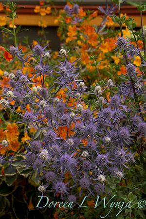 Eryngium planum Jade Frost Mimulus aurantiacus_0176