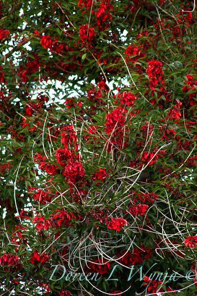 Erythrina crista galli_037
