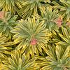 Euphorbia x martinii 'Ascot Rainbow'_2784