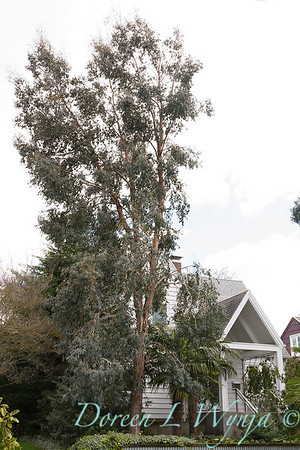 Eucalyptus gunnii_5257