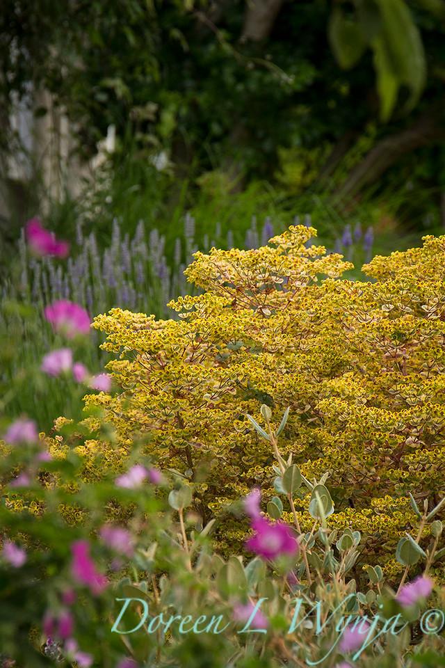 Euphorbia x martinii 'Ascot Rainbow'_8508