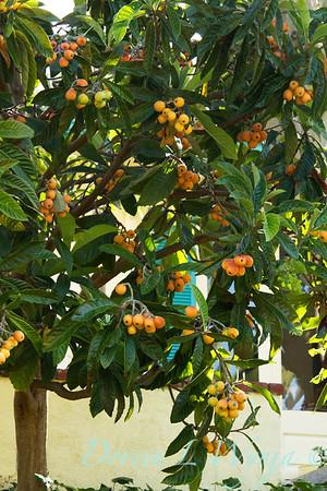 Eriobotrya japonica_012