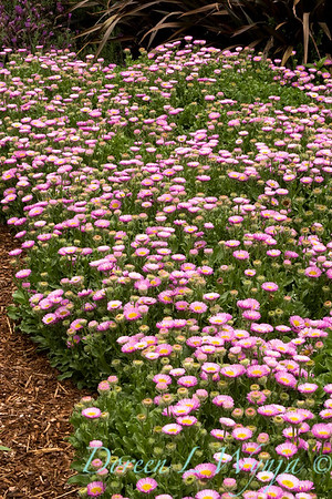 Erigeron glaucus Sea Breeze_020