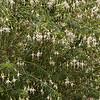Fuchsia magellanica 'Hawkshead'_0610