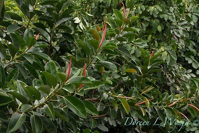 Ficus elastica_1127