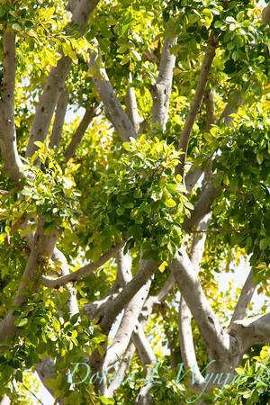 Ficus nitida_011