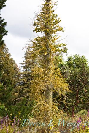 Fouguieria columnaris_003