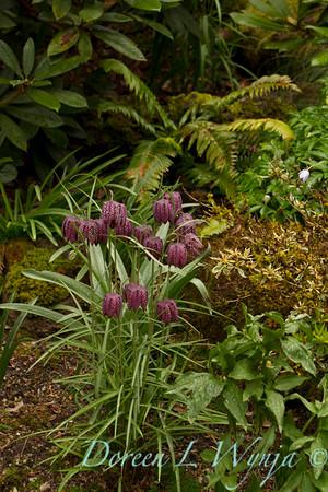 Fritillaria meleagris_001