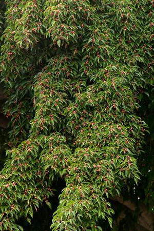 Ficus benjamina_011