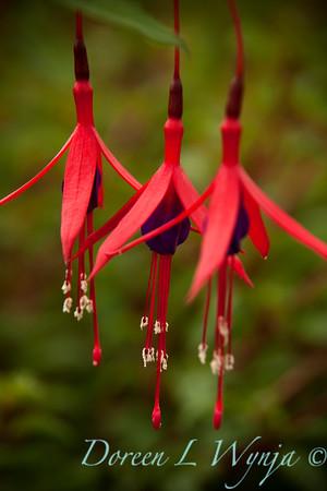 Fuchsia magellanica Windcliff Flurry_004