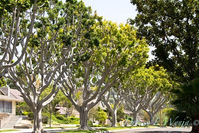 Ficus nitida_001