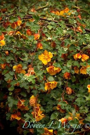 Fremontodendron Ken Taylor_011