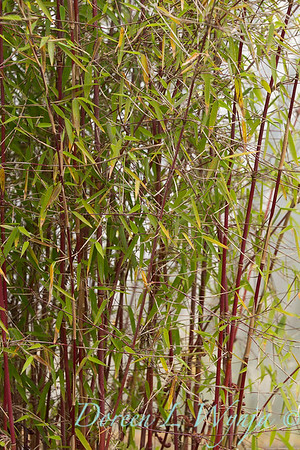 Fargesia 'Red Panda' 'Jui' red stemmed bamboo_7816
