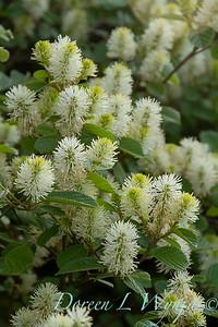 Fothergilla gardenii_024
