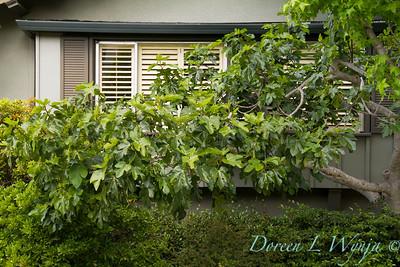 Ficus carica_1877