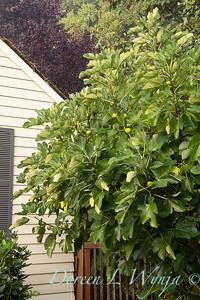 Ficus carica 'Kadota' - figs_2724