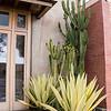 Furcraea foetida 'Mediopicta' - Euphorbia ammak variegata  xeriscape_6469