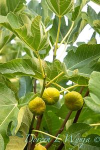 Ficus carica 'Kadota' - figs_2713