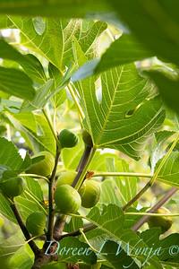 Ficus carica 'Kadota' - figs_2714