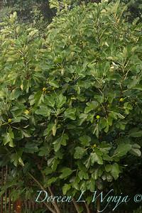 Ficus carica 'Kadota' - figs_2711