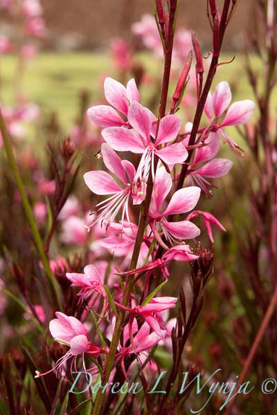 Gaura lindheimeri Pink Cloud_008_Doreen Wynja
