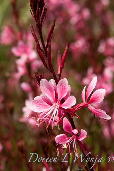 Gaura lindheimeri Pink Cloud_004_Doreen Wynja