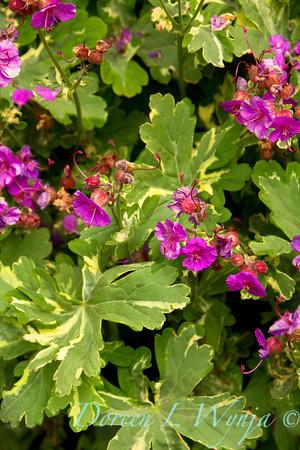 Geranium macrorrhizum Variegatum_006