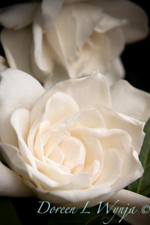 Gardenia augusta Veitchii_009M